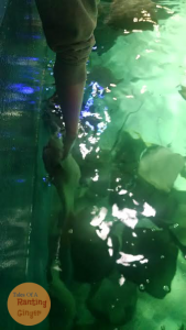 sting rays being touched