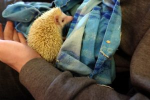 white baby hedgehog