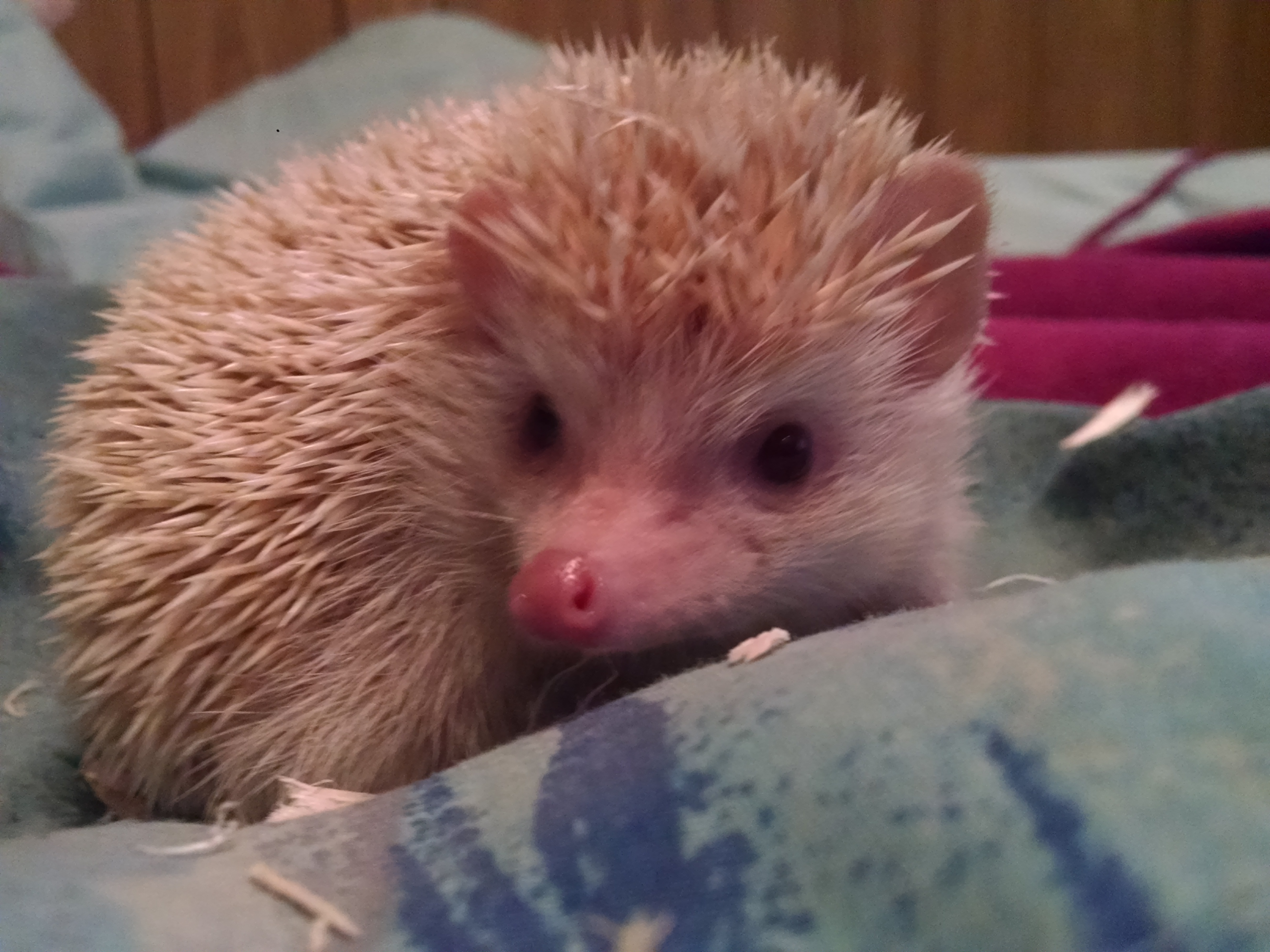Our Baby Hedgehog Update Tales Of A Ranting Ginger