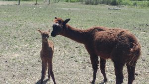 We had a baby! A baby Alpaca that is